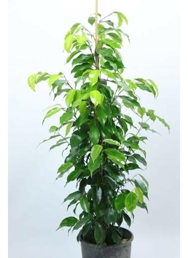 Çiçek Antalya Çiçek Antalya Ficus Benjamin Alacalı 90 Cm Yeşil